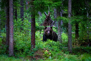 Brown bear (Ursus arctos) in coniferous forest. Ida-Virumaa, Eastern Estonia. September.  -  Sven  Zacek