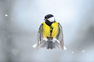 Great tit (Parus major) flying in falling snow. Vorumaa, Southern Estonia. February.  -  Sven  Zacek