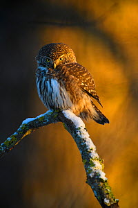 Eurasian pygmy owl (Glaucidium passerinum) perched on snow covered branch in evening light. Vorumaa, Southern Estonia. November.  -  Sven  Zacek