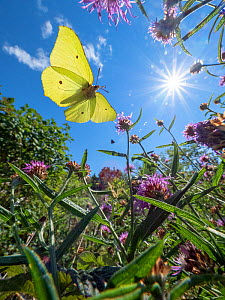 Common brimstone (Gonepteryx rhamni) flying in summer meadow amongst Knapweed (Centaurea sp). Hvaler, Ostfold, Norway. July. - Pal Hermansen