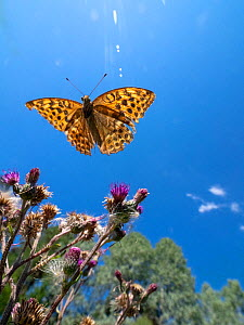 Silver-washed fritillary (Argynnis paphia) flying above thistles, under blue sky. Akershus, Norway. July. - Pal Hermansen