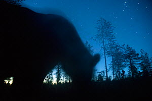 Bear (Ursus arctos) silhouetted at night under starry sky. Finland. August. - Pal Hermansen