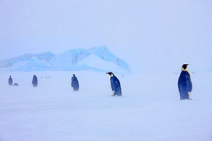 Emperor penguins (Aptenodytes forsterii) wandering through snow covered landscape. Snow Hill Island, Antarctica. October - Pal Hermansen