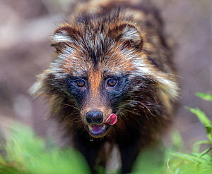 Raccoon dog (Nyctereutes procyonoides) licking lips, portrait. Danube Delta, Romania. May. - Pal Hermansen