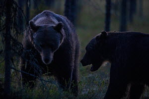 Brown bear (Ursus arctos), two showing aggression at night. Finland. August. - Pal Hermansen