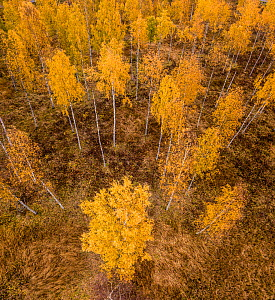 Aerial view of Birch (Betula sp) forest in autumn colours, Akershus, Norway  -  Pal Hermansen