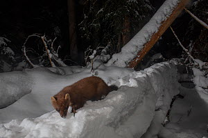 Pine marten (Martes martes) foraging in snow at night. Norway. February.  -  Pal Hermansen