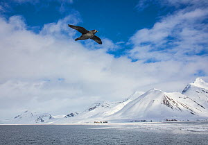 Fulmar (Fulmarus glacialis) flying over sea with snow covered mountains in background. Hornsund, Sor Spitsbergen National Park, Svalbard, Norway. May 2018.  -  Pal Hermansen