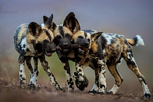 African wild dogs (Lycaon pictus) juveniles playing with the leg of an impala, trying to drag it in three different directions. Mkuze, South Africa.  -  Bence Mate