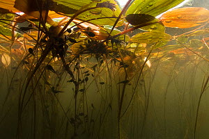 Common toad (Bufo bufo) tadpoles eating algae on Floating pondweed (Potamogeton natans). Netherlands. May.  -  Willem  Kolvoort