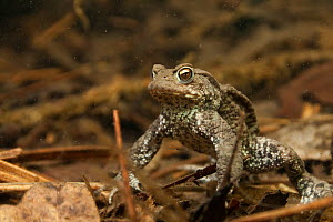 Common toad (Bufo bufo) resting on bottom of lake. Netherlands. April.  -  Willem  Kolvoort