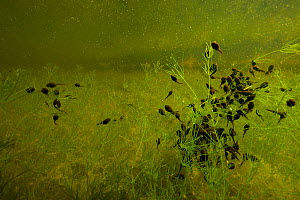 Common toad (Bufo bufo) tadpoles amongst stonewort in ditch. Netherlands. May.  -  Willem  Kolvoort