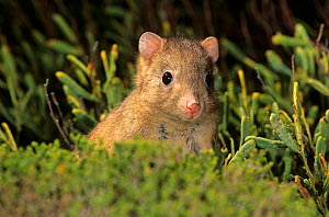Burrowing Bettong / Boodie (Bettongia lesueur) looking around at night. Dorre Island, Shark Bay, Western Australia. - Jiri Lochman