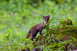 Pine marten (Martes martes) in old-growth Beech (Fagus sylvatica) forest, UNESCO World Heritage Site. Abruzzo, Lazio and Molise National Park, Italy. June. - Bruno D'Amicis