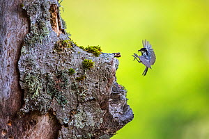 Coal tit (Parus ater) returning to its nest built in ancient old-growth Beech (Fagus sylvatica) forest tree, Abruzzo, Lazio and Molise National Park / Parco Nazionale d'Abruzzo, Lazio e Molise UNE...  -  Bruno D'Amicis