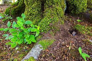 Red vole (Myodes glareolus) peering from burrow by old-growth Beech (Fagus sylvatica) forest tree . Abruzzo, Lazio and Molise National Park / Parco Nazionale d'Abruzzo, Lazio e Molise UNESCO World... - Bruno D'Amicis