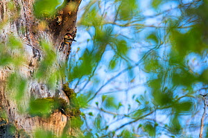 Lilford's white-backed woodpecker (Dendrocopos leucotos lilfordi) peering from its nest built in ancient old-growth Beech (Fagus sylvatica) forest tree, Abruzzo, Lazio and Molise National Park / P...  -  Bruno D'Amicis
