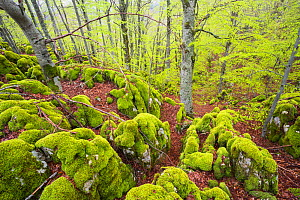 Moss-covered rocks in old-growth Beech (Fagus sylvatica) forest. Abruzzo, Lazio and Molise National Park / Parco Nazionale d'Abruzzo, Lazio e Molise UNESCO World Heritage Site Italy. May 2014 - Bruno D'Amicis