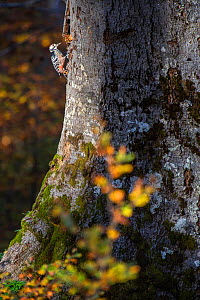Lilford's white-backed woodpecker (Dendrocopos leucotos lilfordi) feeding under dead bark of old-growth Beech (Fagus sylvatica) forest tree. Abruzzo, Lazio and Molise National Park / Parco Naziona...  -  Bruno D'Amicis