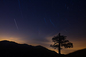 Isolated centuries-old beech (Fagus sylvatica) silhouette with night sky and star trails. Abruzzo, Lazio and Molise National Park / Parco Nazionale d'Abruzzo, Lazio e Molise UNESCO World Heritage... - Bruno D'Amicis