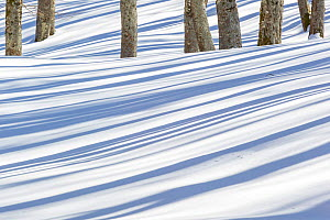 Tree shadows on snow in Val Cervara old-growth Beech (Fagus sylvatica) forest, Europe's oldest Beech forest. Abruzzo, Lazio and Molise National Park / Parco Nazionale d'Abruzzo, Lazio e Molise...  -  Bruno D'Amicis