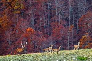 Red deer (Cervus elaphus) herd emerging from old-growth Beech (Fagus sylvatica) forest. Abruzzo, Lazio and Molise National Park / Parco Nazionale d'Abruzzo, Lazio e Molise UNESCO World Heritage Si...  -  Bruno D'Amicis