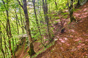 Marsican / Apennine brown bear (Ursus arctos marsicanus) walking on a trail through old-growth Beech (Fagus sylvatica) forest trees. Critically endangered subspecies. Abruzzo, Lazio and Molise Nationa... - Bruno D'Amicis