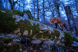 Red fox (Vulpes vulpes) walking on fallen centuries-old beech tree in Coppo del Principe old-growth Beech (Fagus sylvatica) forest on winter twilight. Abruzzo, Lazio and Molise National Park / Parco N... - Bruno D'Amicis