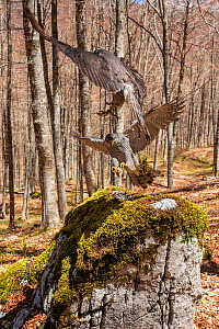 Goshawk (Accipiter gentilis) female and male exchanging prey at plucking site in old-growth Beech (Fagus sylvatica) forest, Abruzzo, Lazio and Molise National Park / Parco Nazionale d'Abruzzo, Laz... - Bruno D'Amicis