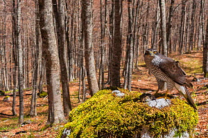 Goshawk (Accipiter gentilis) female perched on plucking site in old-growth Beech (Fagus sylvatica) forest, Abruzzo, Lazio and Molise National Park / Parco Nazionale d'Abruzzo, Lazio e Molise UNESC... - Bruno D'Amicis