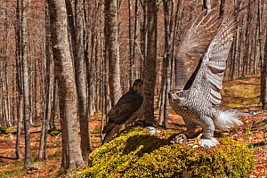 Goshawk (Accipiter gentilis) female and male exchanging prey at plucking site in old-growth Beech (Fagus sylvatica) forest, . Abruzzo, Lazio and Molise National Park / Parco Nazionale d'Abruzzo, L... - Bruno D'Amicis