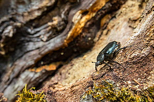 Hermit beetle (Osmoderma eremita) male in decaying wood of old-growth Beech (Fagus sylvatica) forest tree. Endangered species. UNESCO World Heritage Site. Abruzzo, Lazio and Molise National Park, Ital... - Bruno D'Amicis