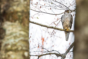 Goshawk (Accipiter gentilis) female perched on Beech tree (Fagus sylvatica) in old growth forest, Abruzzo, Lazio and Molise National Park / Parco Nazionale d'Abruzzo, Lazio e Molise UNESCO World H... - Bruno D'Amicis