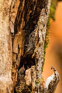 Treecreeper (Certhia familiaris) returning to nest built under bark of dead old-growth Beech (Fagus sylvatica) forest tree, Abruzzo, Lazio and Molise National Park / Parco Nazionale d'Abruzzo, Laz... - Bruno D'Amicis