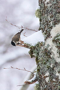 Marsh tit (Parus palustris) searching for food on centuries-old Beech (Fagus sylvatica) tree bark in Coppo del Principe old-growth beech forest during a winter snowfall. Abruzzo, Lazio and Molise Nati...  -  Bruno D'Amicis
