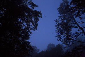 Vespertilionid bats flying at dusk among centuries-old trees in old-growth Beech (Fagus sylvatica) forest. Abruzzo, Lazio and Molise National Park / Parco Nazionale d'Abruzzo, Lazio e Molise UNESC... - Bruno D'Amicis
