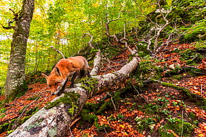 Red fox (Vulpes vulpes) walking along fallen trunk of old Beech (Fagus sylvatica) tree, Coppo del Principe old-growth beech forest in autumn. Abruzzo, Lazio and Molise National Park / Parco Nazionale... - Bruno D'Amicis