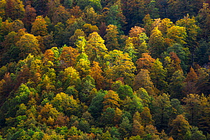 Autumn colors in Val Cervara old-growth Beech (Fagus sylvatica) forest. Europe's oldest Beech forest. Abruzzo, Lazio and Molise National Park / Parco Nazionale d'Abruzzo, Lazio e Molise UNESCO... - Bruno D'Amicis