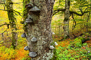Autumn colours and ancient Beech (Fagus sylvatica) tree with Tinder fungus (Fomes sp.) growing on its trunk in Coppo del Principe old-growth Beech forest. Abruzzo, Lazio and Molise National Park / Par... - Bruno D'Amicis