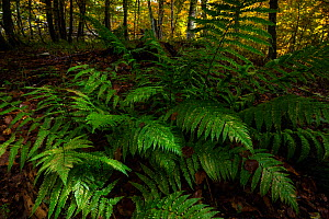Fern (Pteridium aquilinum) in old-growth Beech (Fagus sylvatica) forest. Abruzzo, Lazio and Molise National Park / Parco Nazionale d'Abruzzo, Lazio e Molise UNESCO World Heritage Site Italy. Octob...  -  Bruno D'Amicis