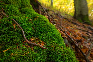 Earthworm (Lumbricus sp.) in old-growth Beech (Fagus sylvatica) forest. Abruzzo, Lazio and Molise National Park / Parco Nazionale d'Abruzzo, Lazio e Molise UNESCO World Heritage Site Italy. Octobe...  -  Bruno D'Amicis