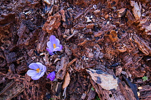 Crocuses (Crocus vernus) emerging from decaying wood in old-growth Beech forest. Abruzzo, Lazio and Molise National Park / Parco Nazionale d'Abruzzo, Lazio e Molise UNESCO World Heritage Site Ital... - Bruno D'Amicis