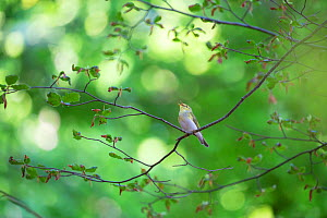 Wood warbler (Phylloscopus sibilatrix) singing on tree branch in old-growth Beech (Fagus sylvatica) forest. UNESCO World Heritage Site. Abruzzo, Lazio and Molise National Park, Italy. June - Bruno D'Amicis