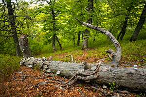 Fallen dead tree in old-growth Beech (Fagus sylvatica) forest. Abruzzo, Lazio and Molise National Park / Parco Nazionale d'Abruzzo, Lazio e Molise UNESCO World Heritage Site Italy. May 2017 - Bruno D'Amicis