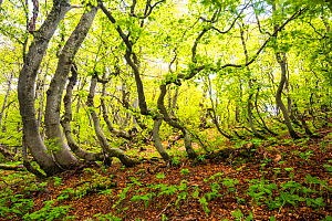 Beech (Fagus sylvatica) trees which have been shaped by snow and wind in old-growth forest. Abruzzo, Lazio and Molise National Park / Parco Nazionale d'Abruzzo, Lazio e Molise UNESCO World Heritag... - Bruno D'Amicis