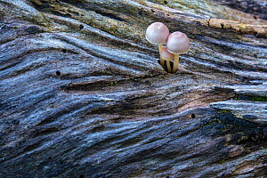 Toadstools emerging from decaying wood in old-growth Beech (Fagus sylvatica) forest. Abruzzo, Lazio and Molise National Park / Parco Nazionale d'Abruzzo, Lazio e Molise UNESCO World Heritage Site... - Bruno D'Amicis