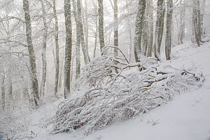 Fallen tree in Coppo del Principe old-growth Beech (Fagus sylvatica) forest during a winter snowfall. Abruzzo, Lazio and Molise National Park / Parco Nazionale d'Abruzzo, Lazio e Molise UNESCO Wor... - Bruno D'Amicis