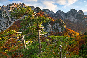 Autumn colors in the Camosciara mountains where Black pine (Pinus nigra) forest meets Cacciagrande old-growth Beech (Fagus sylvatica) forest. Abruzzo, Lazio and Molise National Park / Parco Nazionale...  -  Bruno D'Amicis