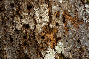 Woodpecker and beetle holes on centuries-old beech (Fagus sylvatica) tree bark in old-growth beech forest. Abruzzo, Lazio and Molise National Park / Parco Nazionale d'Abruzzo, Lazio e Molise UNESC... - Bruno D'Amicis