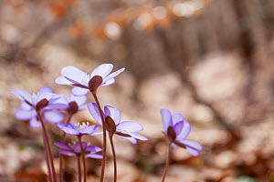 Liverleaf (Hepatica nobilis) in old-growth Beech forest. Abruzzo, Lazio and Molise National Park / Parco Nazionale d'Abruzzo, Lazio e Molise UNESCO World Heritage Site Italy. April - Bruno D'Amicis
